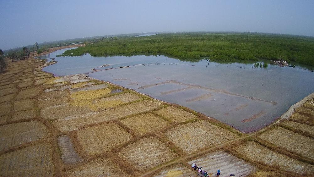 rizière inondée par l'eau salée